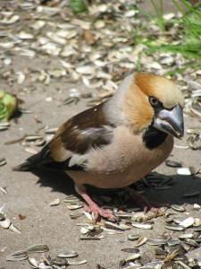 Fåglar,Skogatorp,Lidköping 083